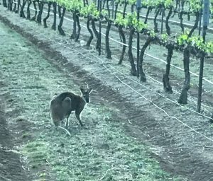 Kangaroo in Robert Stein Vineyard